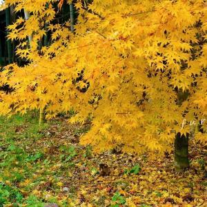 黄金色のカエデ