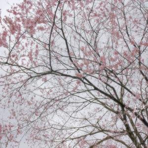 名の知らぬ桜