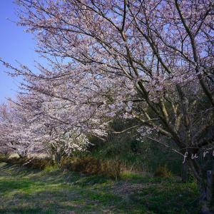 近所の桜を