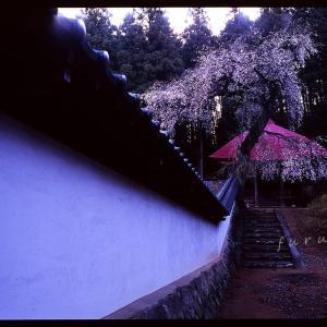 信州枝垂れ桜の思い出