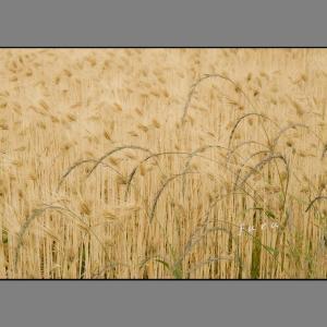 収穫の頃-麦