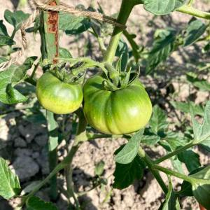 家庭菜園はコロナ禍に苦しむ家計の助けになりうるのか?