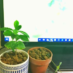 93.観葉植物の鉢替えを行っています