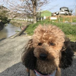 お花見散歩♪(大吉&エヒメアヤメ) 3月29日
