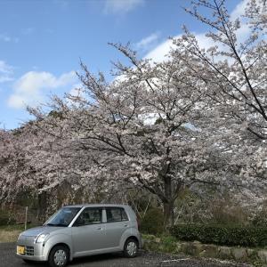 枝垂桜とソメイヨシノの競演♪ 4月1日