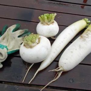 雨の合間に収穫。