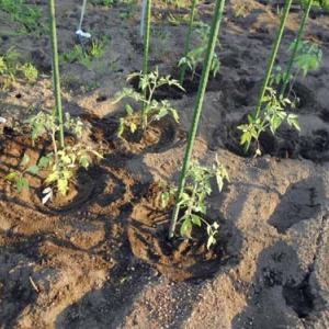 大玉トマトを植え付け。