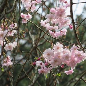 3月、4月のお花見会は中止になりました。