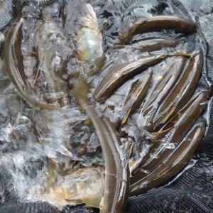 山口県錦川で釣る。
