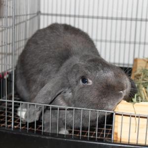 茨城県水戸市にあるウサギ販売店「プティラパン」 お泊りウサギさん(H31,10,13)