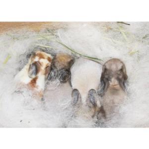 茨城県水戸市にあるウサギ販売店「プティラパン」 ロップイヤー『ミルク』ベビー 10/6③
