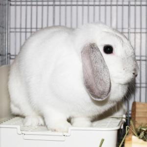 茨城県水戸市にあるウサギ販売店「プティラパン」 お泊りウサギさん(H31,10,15)