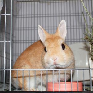 茨城県水戸市にあるウサギ販売店「プティラパン」 お泊りウサギさん(H31,10,18)