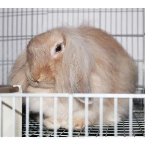 茨城県水戸市にあるウサギ販売店「プティラパン」 お泊りウサギさん(H31,10,19)