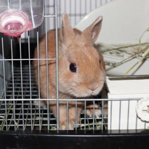 茨城県水戸市にあるウサギ販売店「プティラパン」 お泊りウサギさん(H31,10,21)