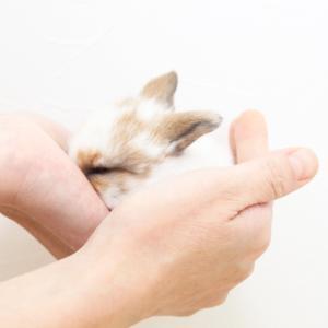 茨城県水戸市にあるウサギ販売店「プティラパン」 ロップイヤー『ミルク』ベビー 10/6生⑥