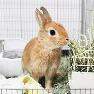 茨城県水戸市にあるウサギ販売店「プティラパン」 お泊りウサギさん(H31,11,8)