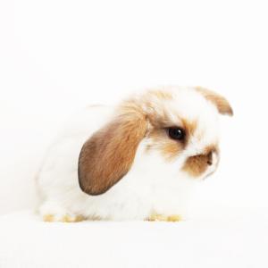茨城県水戸市にあるウサギ販売店「プティラパン」 ロップイヤー『ミルク』ベビー 10/6生⑨