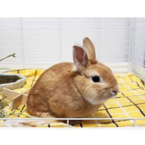 茨城県水戸市にあるウサギ販売店「プティラパン」 お泊りウサギさん(H31,11,18)