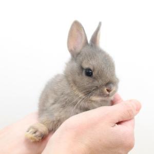 茨城県水戸市にあるウサギ販売店「プティラパン」 ネザーランド『クルミ』ベビー 10/24生⑥