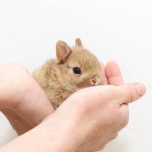 茨城県水戸市にあるウサギ販売店「プティラパン」 ネザーランド『ノワ』ベビー 11/3生⑤