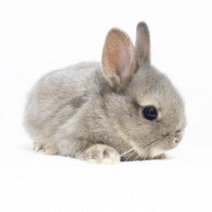 茨城県水戸市にあるウサギ販売店「プティラパン」 ネザーランド『クルミ』ベビー 10/24生⑦