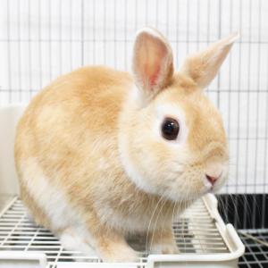 茨城県水戸市にあるウサギ販売店「プティラパン」 お泊りウサギさん(H31,11,23)