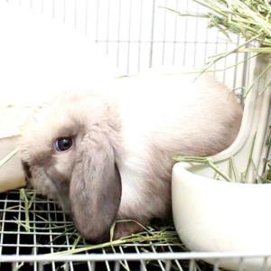 茨城県水戸市にあるウサギ販売店「プティラパン」 ロップイヤー『ミルク』ベビー 10/6生⑪