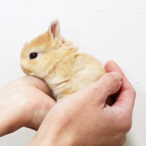 茨城県水戸市にあるウサギ販売店「プティラパン」 ネザーランド『ピーちゃん』ベビー 11/11生⑤