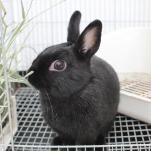 茨城県水戸市にあるウサギ販売店「プティラパン」 お泊りウサギさん(H31,11,30)