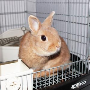茨城県水戸市にあるウサギ販売店「プティラパン」 お泊りウサギさん(H31,12,1)