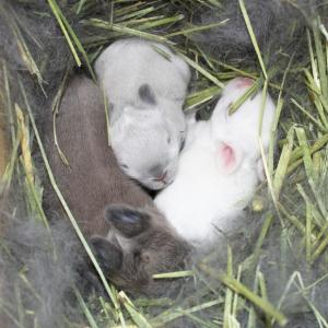 茨城県水戸市にあるウサギ販売店「プティラパン」 ネザーランド『桜』ベビー 11/25生②