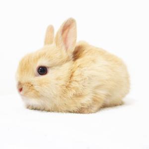 茨城県水戸市にあるウサギ販売店「プティラパン」 ネザーランド『ノワ』ベビー 11/3生⑥
