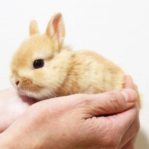 茨城県水戸市にあるウサギ販売店「プティラパン」 ネザーランド『ピーちゃん』ベビー 11/11生⑥