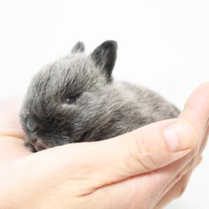 茨城県水戸市にあるウサギ販売店「プティラパン」 ネザーランド『桜』ベビー 11/25生④