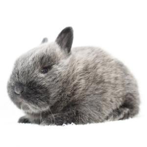 茨城県水戸市にあるウサギ販売店「プティラパン」 ネザーランド『桜』ベビー 11/25生⑤