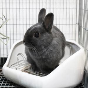 茨城県水戸市にあるウサギ販売店「プティラパン」 お泊りウサギさん(2020,1,25)