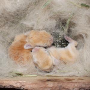 茨城県水戸市にあるウサギ販売店「プティラパン」 ネザーランド『ノワ』ベビー 1/21生③