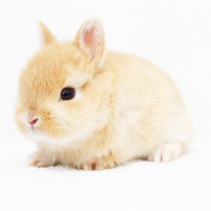茨城県水戸市にあるウサギ販売店「プティラパン」 ネザーランド『クルミ』ベビー 1/7生⑥