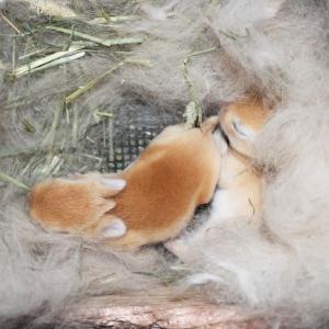 茨城県水戸市にあるウサギ販売店「プティラパン」 ネザーランド『ノワ』ベビー 1/21生④