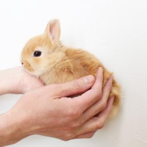 茨城県水戸市にあるウサギ販売店「プティラパン」 ネザーランド『クルミ』ベビー 1/7生⑦