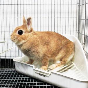 茨城県水戸市にあるウサギ販売店「プティラパン」 お泊りウサギさん(2020,2,1)