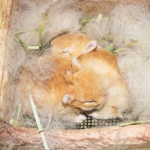 茨城県水戸市にあるウサギ販売店「プティラパン」 ネザーランド『ノワ』ベビー 1/21生