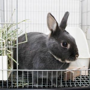 茨城県水戸市にあるウサギ販売店「プティラパン」 お泊りウサギさん(2020,2,6)