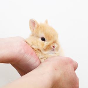 茨城県水戸市にあるウサギ販売店「プティラパン」 ネザーランド『ノワ』ベビー 1/21生⑦