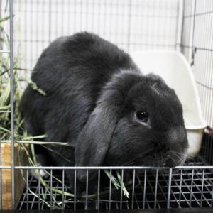 茨城県水戸市にあるウサギ販売店「プティラパン」 ウサギさん(2020,2,10)