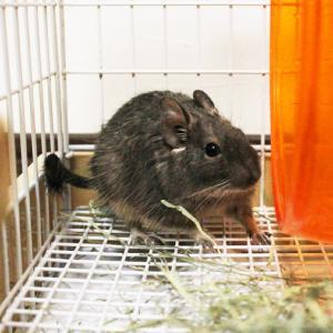 茨城県水戸市にあるウサギ販売店「プティラパン」 お泊りデグー&ウサギさん(2020,2,11)