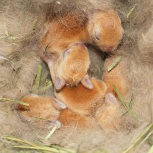 茨城県水戸市にあるウサギ販売店「プティラパン」 ネザーランド『ピルクル』ベビー 2/11生②