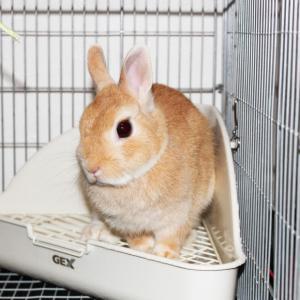 茨城県水戸市にあるウサギ販売店「プティラパン」 お泊りウサギさん(2020,2,17)