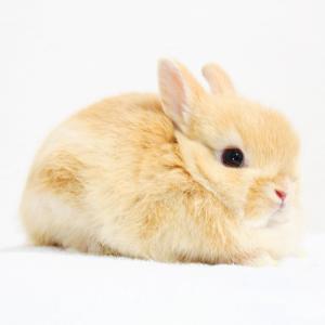 茨城県水戸市にあるウサギ販売店「プティラパン」 ネザーランド『ノワ』ベビー 1/21生⑧